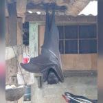 В Сети появилось фото гигантской летучей мыши размером с человека